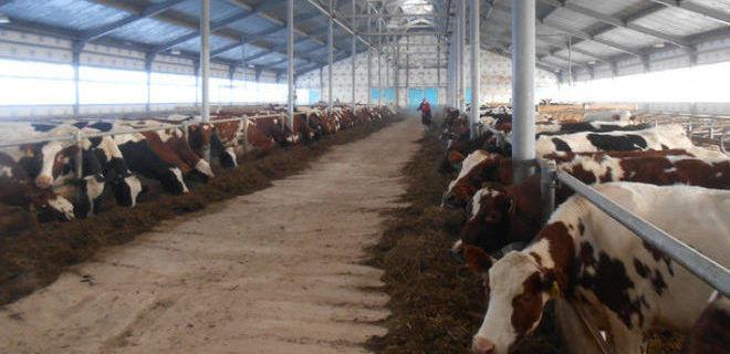 Скот для производства молочной продукции