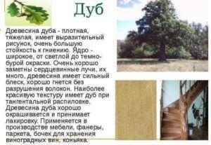 Характеристика древесины из дуба