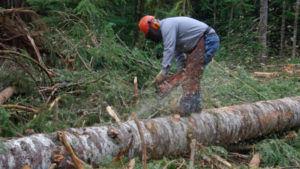 Вырубка деревьев без сертификата запрещена