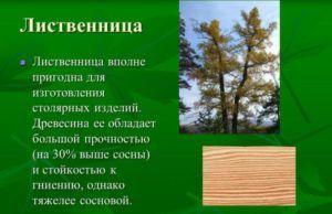 Характеристика лиственницы